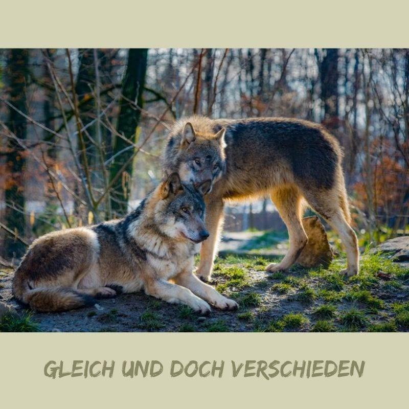 zwei Wolfe